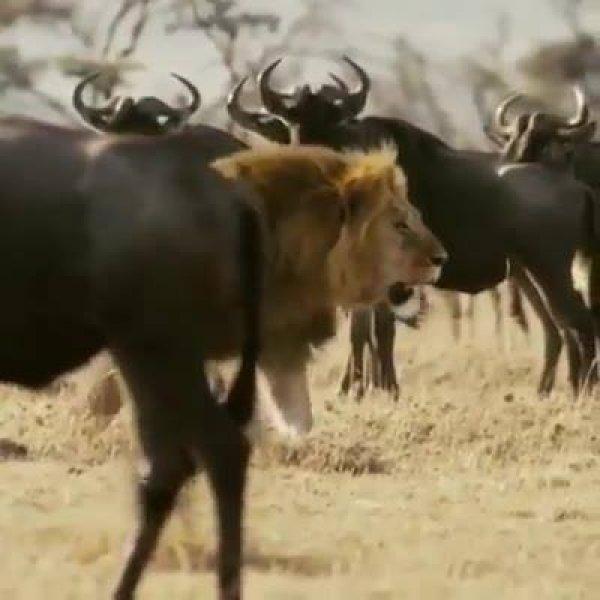 Leão - O rei da selva passando por outros animais, olha como é imponente!
