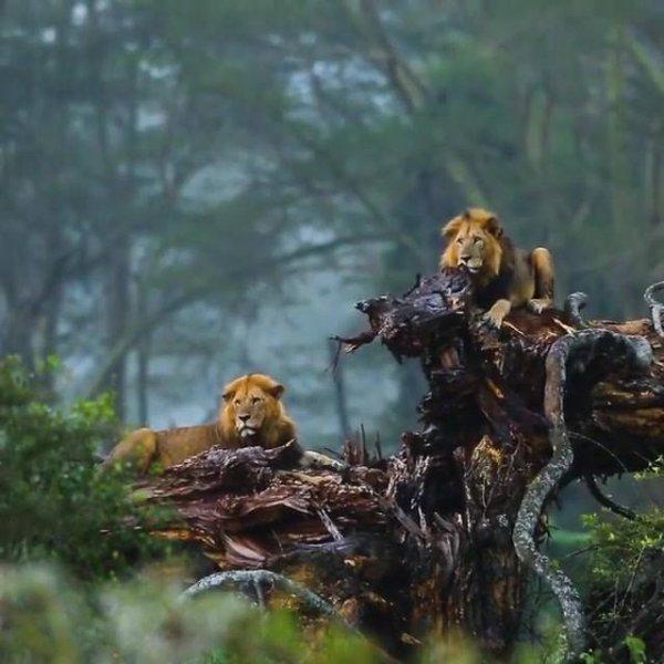 Leões curtindo uma chuvinha, como estes animais são belos!!!