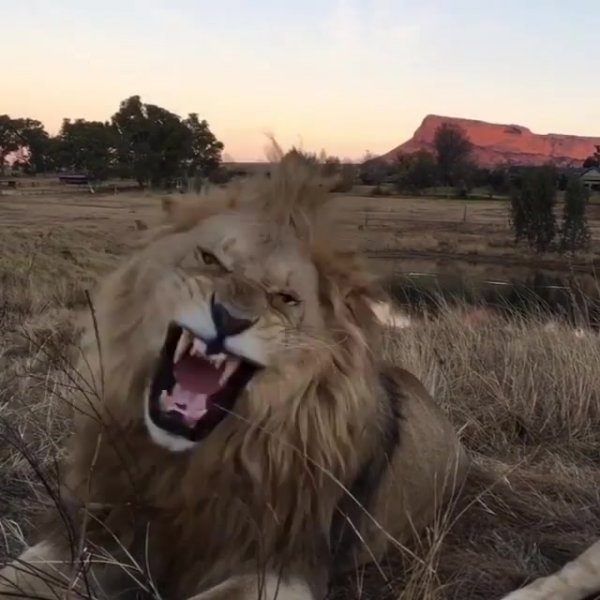 Leões em parque de conservação, como este animal é lindo!!!