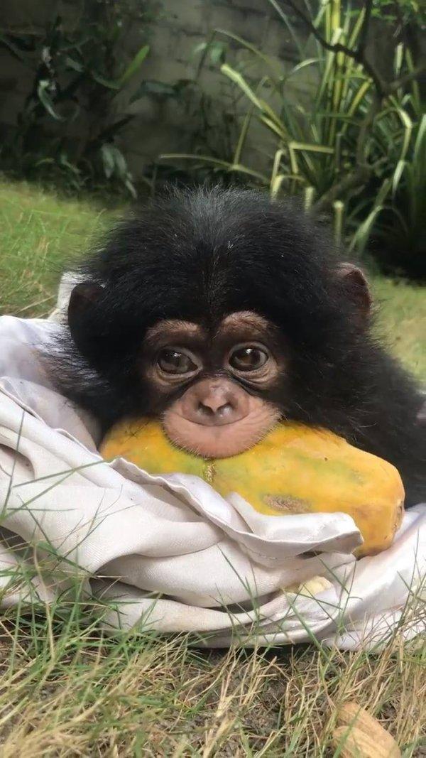 Macaquinho comendo mamão papaia, que cena mais fofinha!