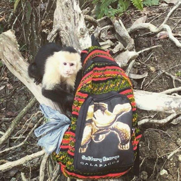 Macaquinho roubando bolsa de turista em Costa Rica, olha só a carinha dele!!!