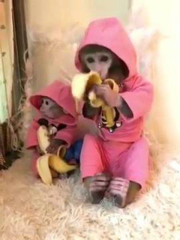 Macaquinhos comendo banana, olha só que belezinha estes animais!!!