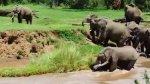 Mãe Elefante pegando salvando seu filhote da correnteza, imagens lindas!!!