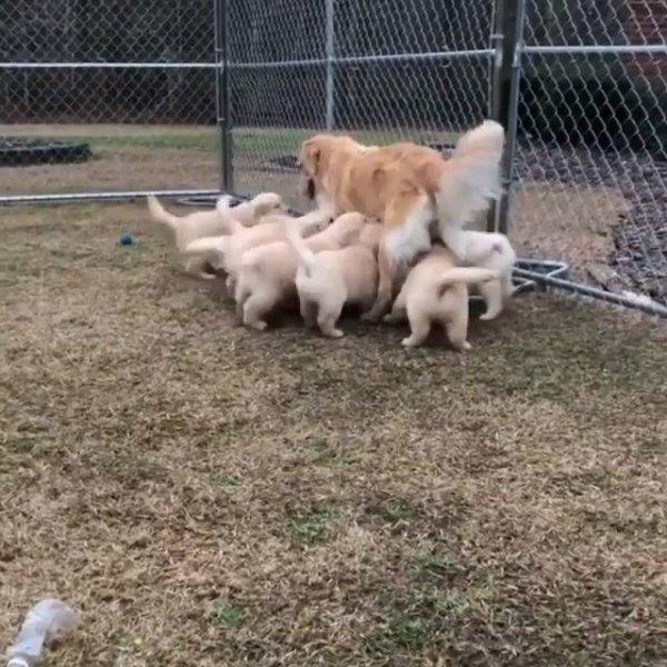 Mamãe cachorra fugindo dos filhotes que já estão grandes e querem mamar!