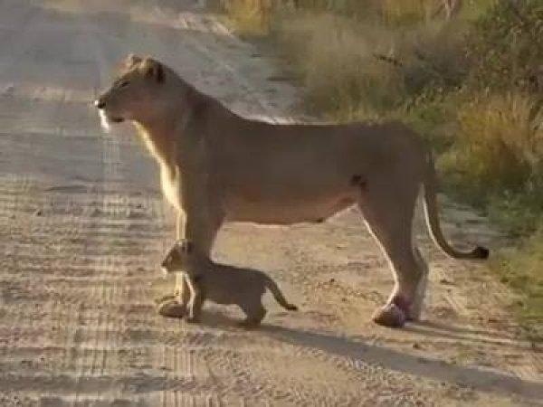 Mamãe e filhote de onça, que animais mais lindos, confira!