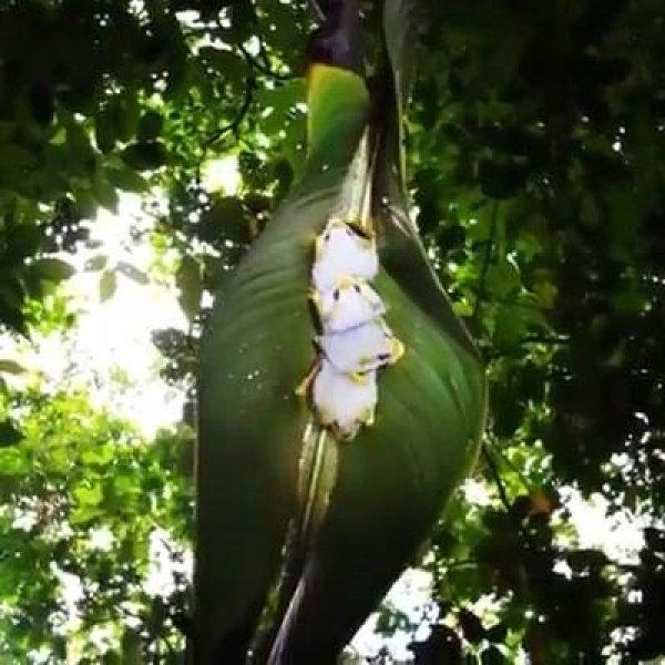 Morcego branco hondurenho uma especie rara muito bonitinha!!!