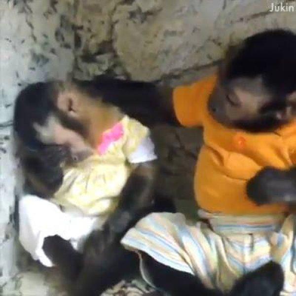 Os macacos são os animais mais engraçados do mundo, veja o video!