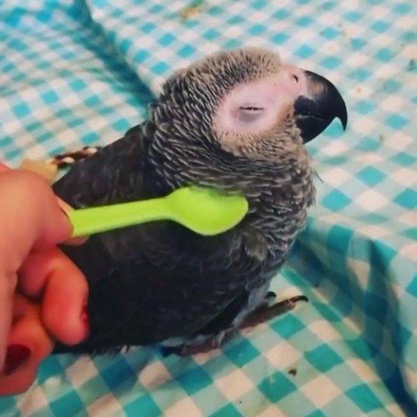 Papagaio cinza que adora carinho, ele até fecha os olhinhos!!!