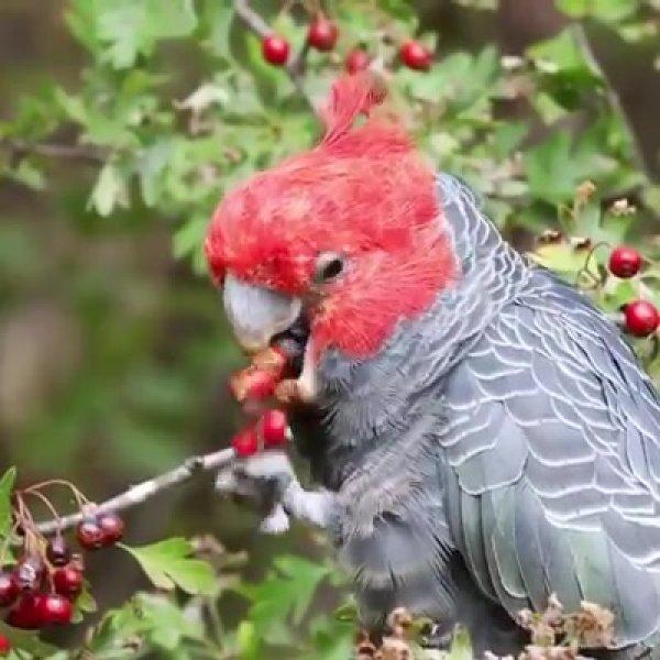 Papagaio comendo frutinhas em uma arvore, olha só que coisa mais linda!!!