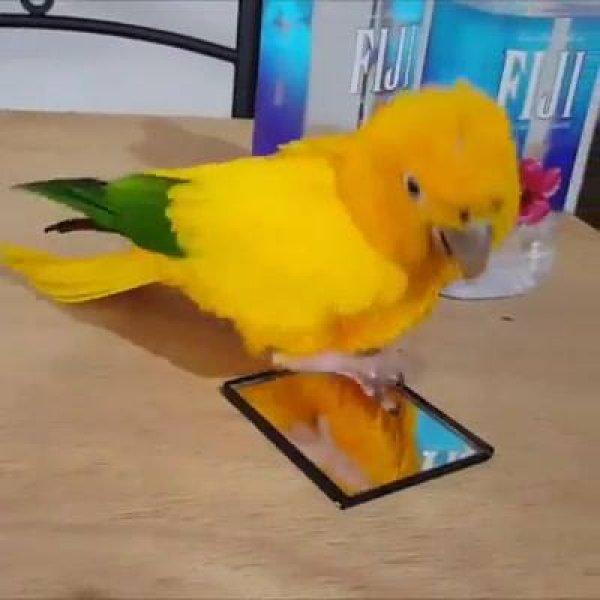 Papagaio dançando e se divertindo, que coisa mais linda da natureza!