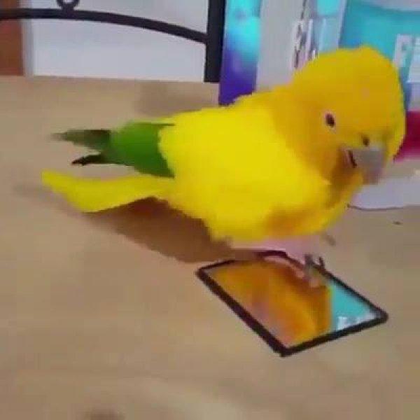 Papagaio dançando, olha só que coisinha mais simpática de animal!!!