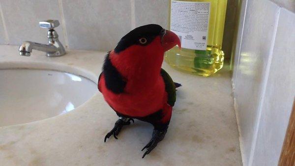 Papagaio falando Cê vai apanhar, com quem será que ele aprendeu?