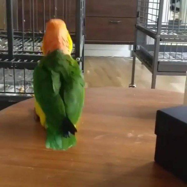 Papagaio fazendo dancinha, olha só que coisinha mais engraçadinha!!!