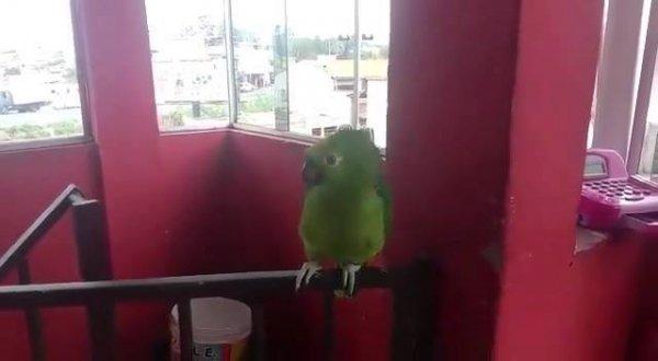 Papagaio Louro fazendo birra para não ir para aula, coitadinho!