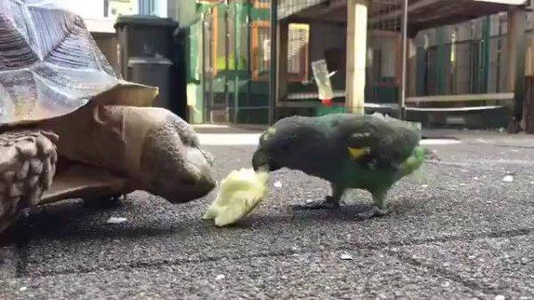Papagaio ridicando comida para um jabuti, olha só esta briga!!!