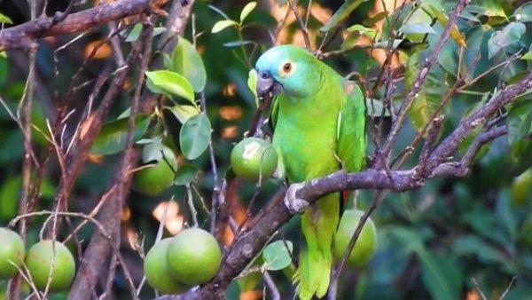 Papagaio selvagem comendo fruta em uma arvore, olha só que lindo!!!