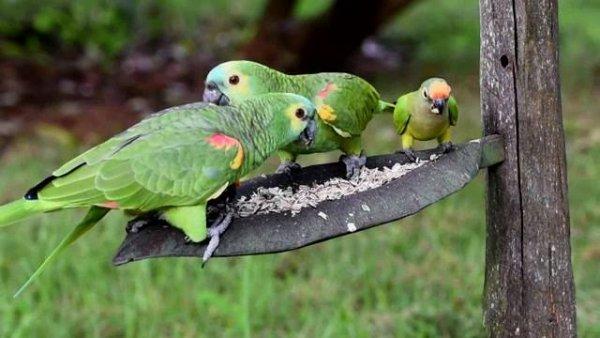 Papagaios comendo sementes em alimentador de pássaros, veja que lindos!!!