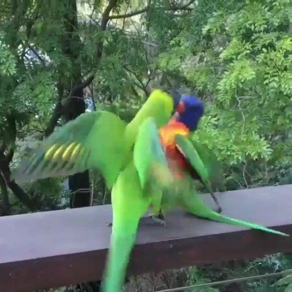 Papagaios querendo brigar, e cacatua os separa, veja que engraçadinho!!!