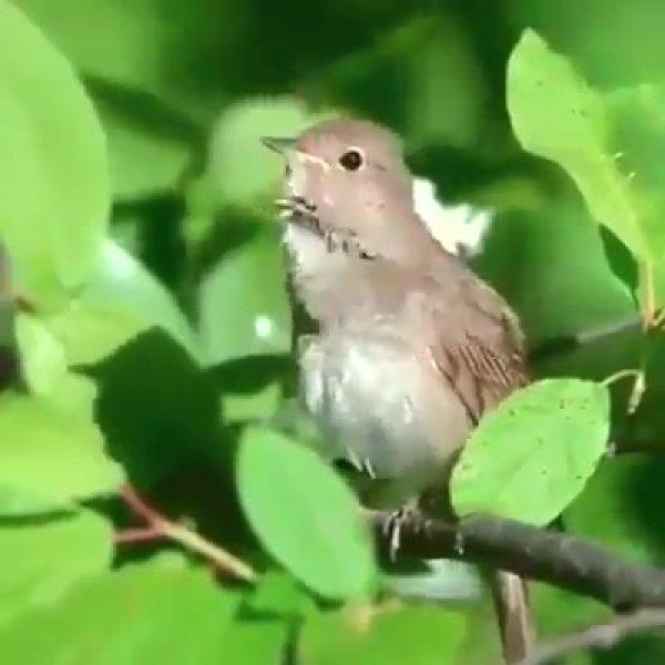 Passarinho cantando em um galho de uma arvore, veja os sons que ele produz!!!