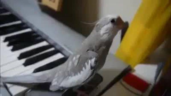 Pássaro cantor, basta tocar o teclado para ele cantar, que simpático!