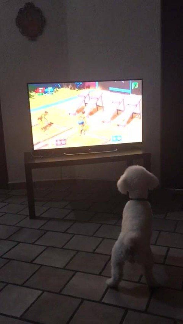 Poodle gosta de ver televisão, veja como ele fica procurando as pessoas!