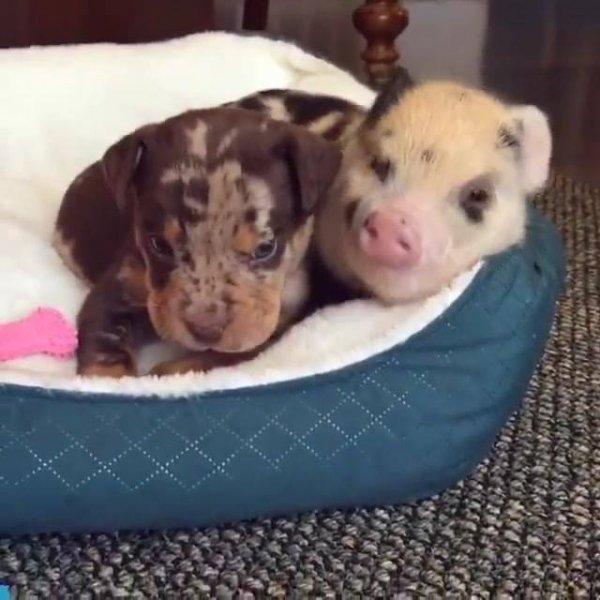 Porquinho e cachorrinho, uma amizade que vai durar para sempre!!!