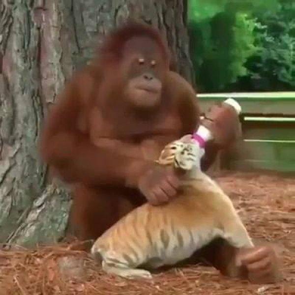 Primata dando mamadeira para felino, que amizade mais linda!