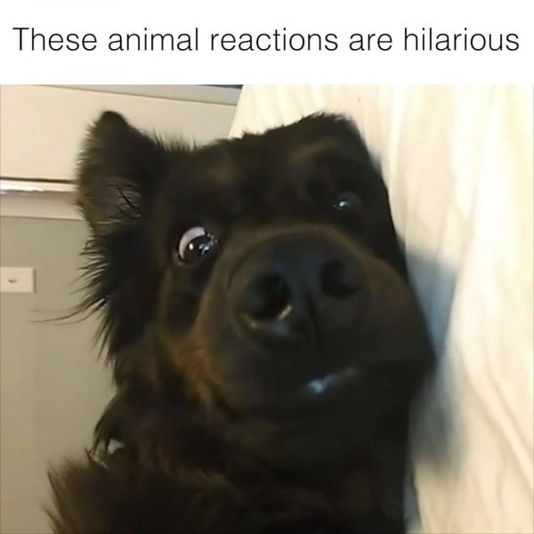 Reações mais engraçadinhas de animais de estimação, bora dar boas risadas!!!