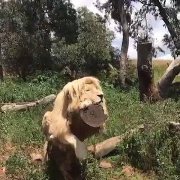 Rei da selva tomando um sol, como os leões são lindos, vale a pena conferir!!!