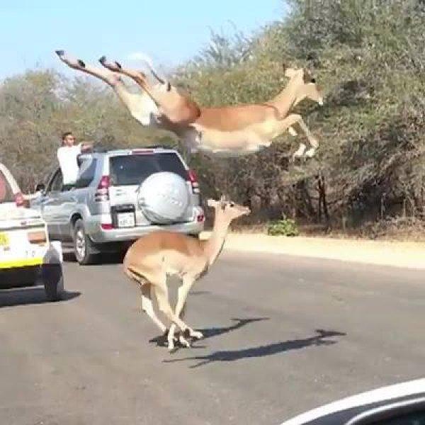 Servos atravessando uma rodovia, veja quem é que esta fazendo eles pularem!