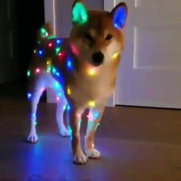 Shiba inu em clima de natal, olha só que coisa mais linda!!!