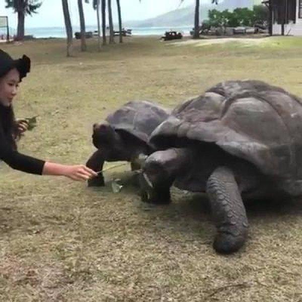 Tartarugas gigantes, um animal muito lindo para se observar!
