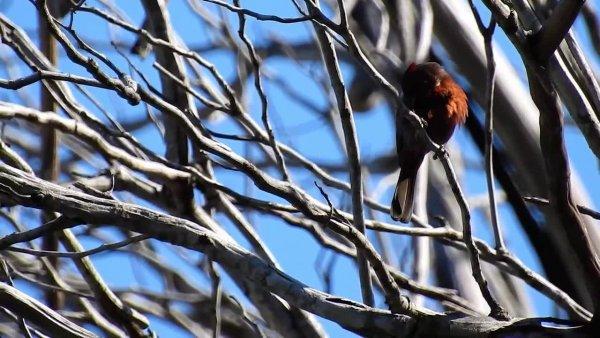 Tico-Tico-Rei, um pássaro da família Thraupidae, muito lindo!