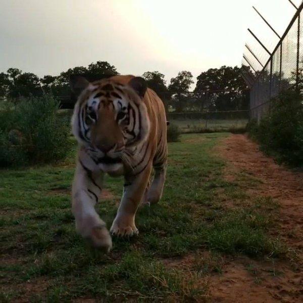 Tigre em um parque de conservação de animais, veja como ele é lindo!!!