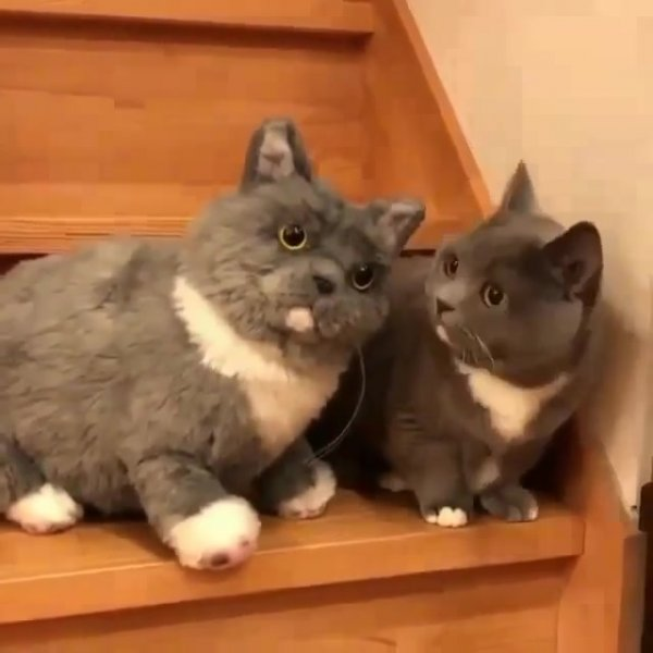 Um gato é de verdade e o outro é de mentira, descubra qual é qual!