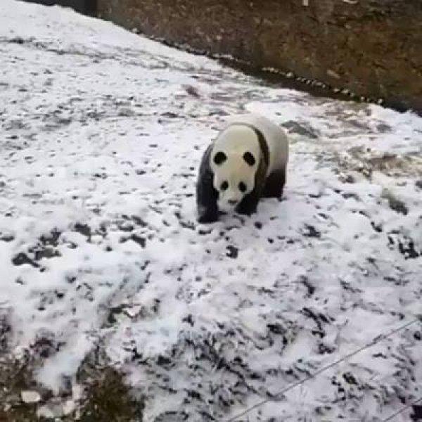 Urso panda se divertindo em barranco coberto de neve, que coisinha mais fofa!!!