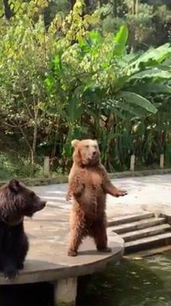 Urso pedindo comida, que cena mais inédita, confira e compartilhe!