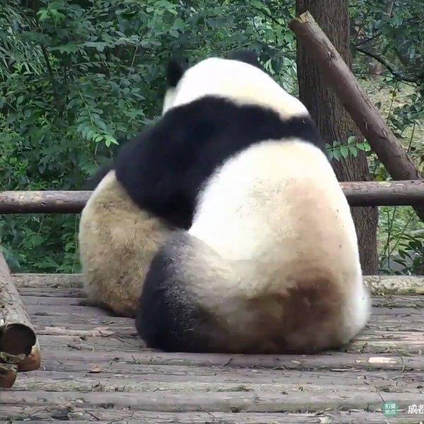 Ursos pandas se abraçando, como estes animais são fofos, confira!!!
