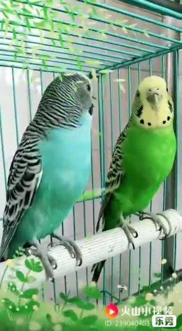 Video de passarinhos com dublagem em voz de crianças, ficou fofo hahaha!