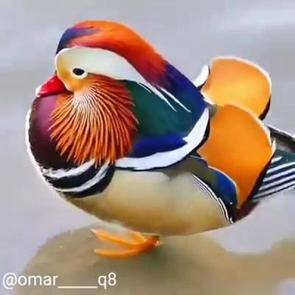 Vídeo mostrando pato mandarim, um animal lindo cheio de cores!!!