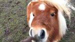 Você já viu um mini cavalo? Veja como é lindinho esta reça!!!