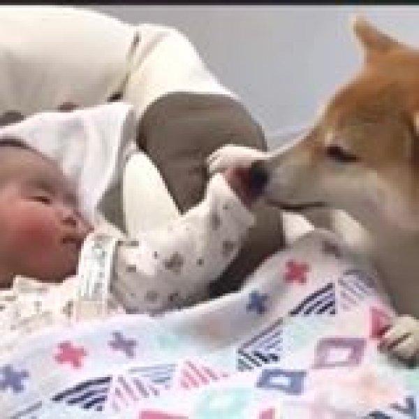 Criança tem um cachorro como babá - Eles são as melhores babás!