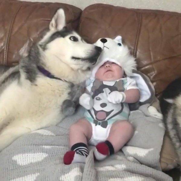 Será um bebê ou um filhote de cachorro Husky Siberiano? Alguém sabe?
