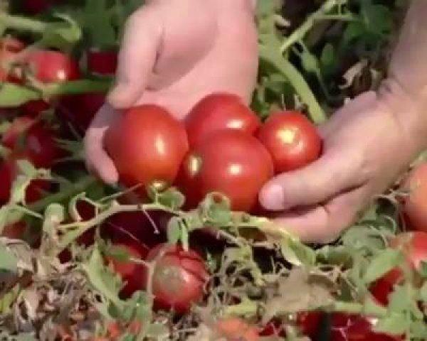 Linha de produção de molho de tomate enlatado, muito interessante!