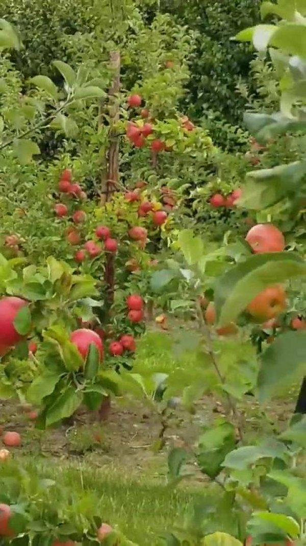 Arvores de maçãs, olha só que coisa mais linda de pomar gente!!!