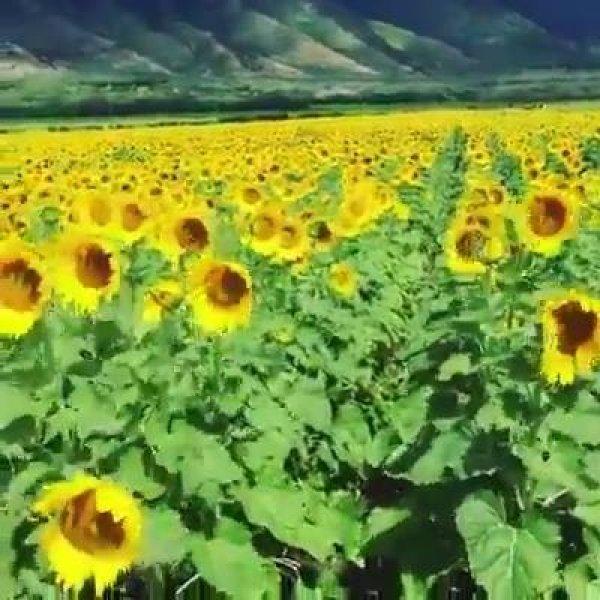 Campo de girassóis, olha só que coisa mais linda! Aprecie esta linda flor!!!