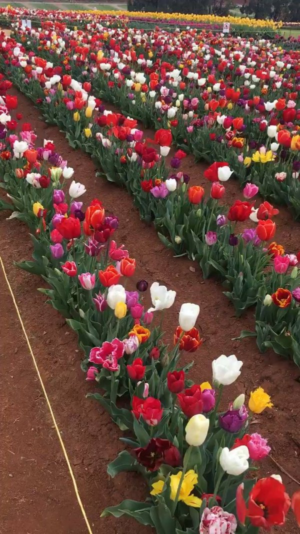 Campo de tulipas coloridas, como a natureza é maravilhosa!!!