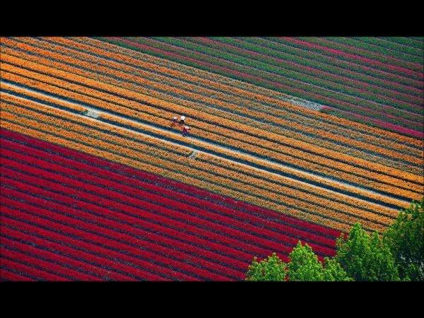Campo de Tulipas na Holanda que se parece com lindo tapete colorido!!!