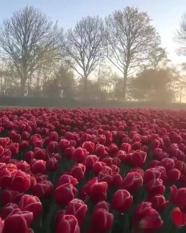 Campo de tulipas vermelhas, a natureza é espetacular, belíssima!!!