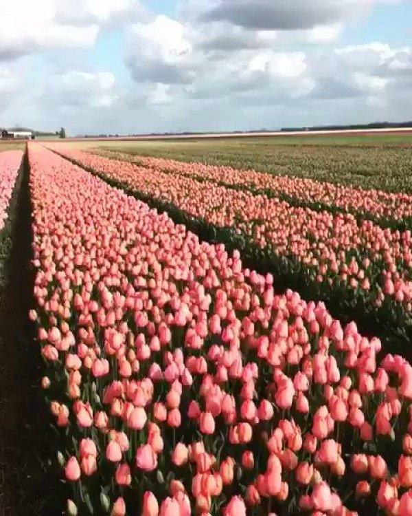 Campo repleto de tulipas, uma beleza para ser apreciada, confira!